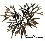 褐藻图片2