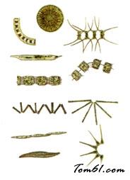 硅藻图片1
