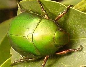 【金龟子图片昆虫】金龟子和叩头虫
