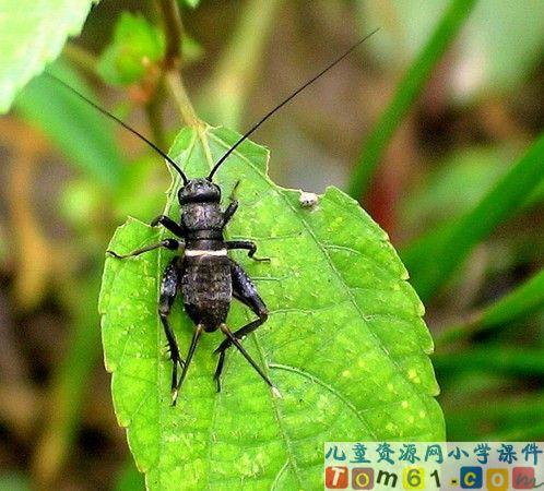 蟋蟀的住宅课件10