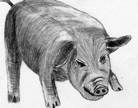 猪-素描图集