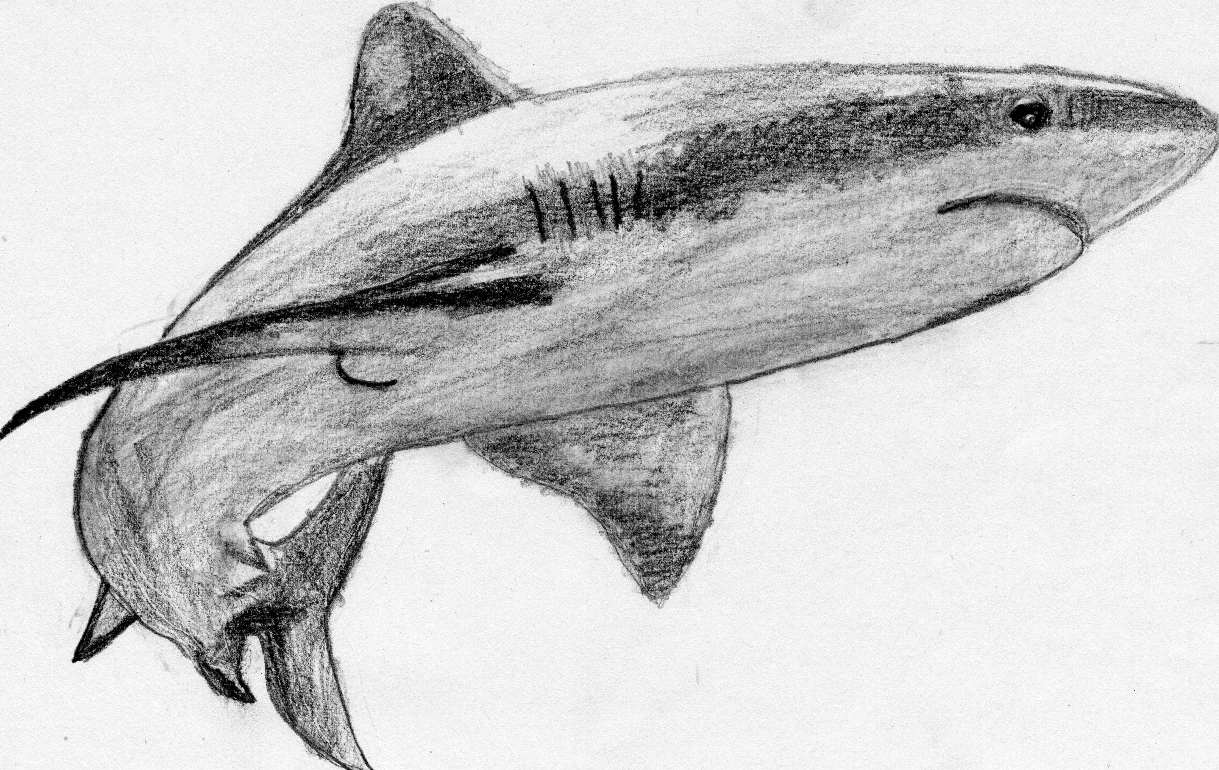 鲨鱼-素描图集
