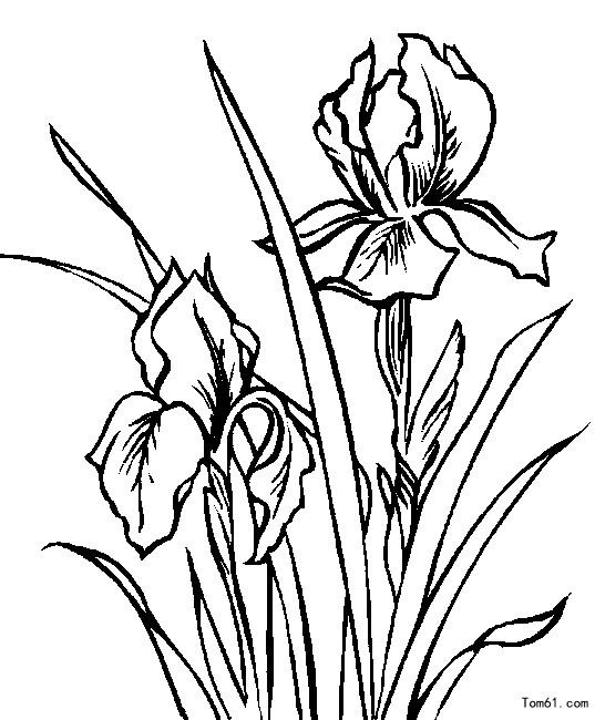 - Coloriage fleur iris ...
